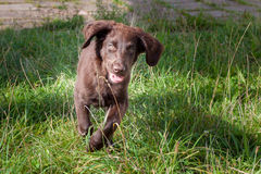 Flat Coated Retriever Puppy. Is happy royalty free stock photography