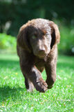 Flat-Coated Retriever Puppy. Young Flat-Coated Retriever Puppy stock photography