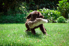 Flat-Coated Retriever Puppy. Young Flat-Coated Retriever Puppy royalty free stock photography