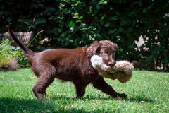Flat-Coated Retriever Puppy. Young Flat-Coated Retriever Puppy royalty free stock image