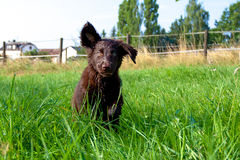 Flat-Coated Retriever Puppy. Young Flat-Coated Retriever Puppy royalty free stock photo