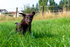 Flat-Coated Retriever Puppy. Young Flat-Coated Retriever Puppy stock photo