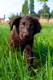 Flat-Coated Retriever Puppy. Young Flat-Coated Retriever Puppy stock images