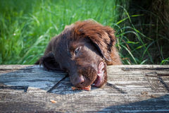 Flat-Coated Retriever Puppy. Young Flat-Coated Retriever Puppy stock image