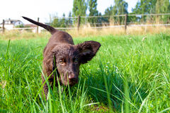 Flat-Coated Retriever Puppy Royalty Free Stock Image