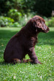 Flat-Coated Retriever Puppy. Young Flat-Coated Retriever Puppy royalty free stock images
