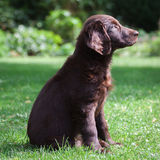 Flat-Coated Retriever Puppy. Young Flat-Coated Retriever Puppy stock photos