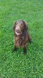 Flat coated retriever. Is sitting on the grass stock photo