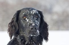 Flat Coated Retriever in the snow Royalty Free Stock Photo