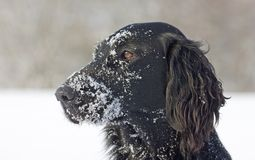 Flat Coated Retriever in the snow Stock Photography