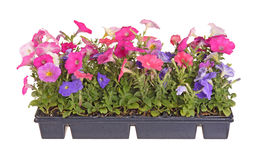 Flat of colorful petunia transplant seedlings. Side view of a flat containing seedlings of petunia plants Royalty Free Stock Photos