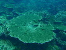 Flat coral Royalty Free Stock Photos
