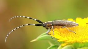 Flat-faced longhorn beetle Agapanthia cardui stock video footage