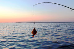 Fishing sea. Flat-fish. Stock Images