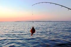Fishing sea. Flat-fish. Stock Images