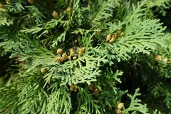 Flat green leaves of Thuja occidentalis with cones. Flat green leaves of Thuja occidentalis with seed cones Stock Photography