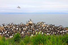 Flat guillemot colony (2) royalty free stock images