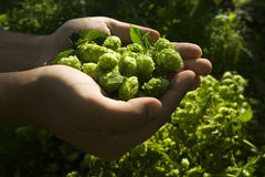 The flat hand with hop Stock Photos