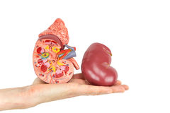 Flat hand showing model human kidney. Flat hand showing model of human kidney isolated on white background stock image