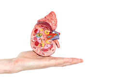 Flat hand showing model with inside of human kidney Royalty Free Stock Photo