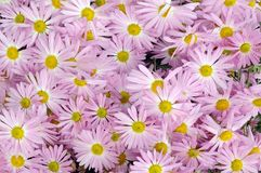Flat of hardy garden mum Royalty Free Stock Photography