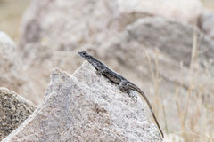 Flat-headed Rock Agama & x28;Agama mwanzae& x29; Perched on a Rock. In Northern Tanzania Stock Photography