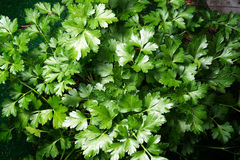 Flat Italian Parsley Royalty Free Stock Photo