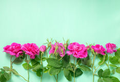 Flat lay of beautiful romantic pink rose flowers with buds and l. Eaves on green background, greeting card, close up Royalty Free Stock Photography