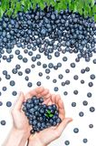 Blueberry pattern and handful of blueberries. Flat lay of blueberries and leaves arranged in a receding pattern and two hands on the left e holding a heart royalty free stock photography