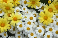 Cluster of yellow and white daisies. Flat lay close up photo of a cluster of bright yellow and white daisies with droplets of water stock photography