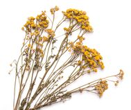 Flat lay dry branches of tansy grass on a white background Stock Photos