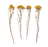 Flat lay dry branches of tansy grass on a white background. Tanacetum flower view from above Stock Photography