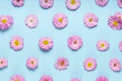 Flat lay floral pattern chrysanthemums on blue background. Floral pattern made of chrysanthemums on blue background flat lay Stock Photography