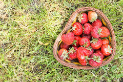 Flat lay just picked fresh strawberries in the basket above gree Royalty Free Stock Images