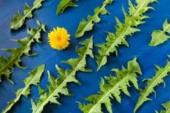 Flat lay pattern of green carved dandelions leaves and one yellow flower on trendy blue vivid background. stock photos