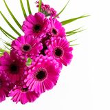 Flat lay: on white background. pink, purple, violette, red Gerbera flower with petals