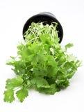 Flat leaf parsley Stock Image
