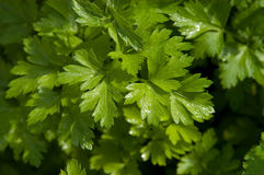 Flat Leaf Parsley. Plant growing in garden Stock Photo