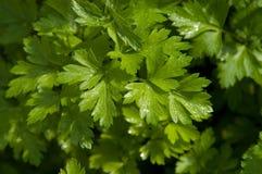 Flat Leaf Parsley Stock Photo