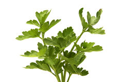 Flat-leaved parsley. On a white background Royalty Free Stock Image