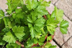 Flat-leaved Parsley in a pot Royalty Free Stock Photo