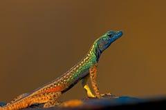 Flat Lizard Royalty Free Stock Photos