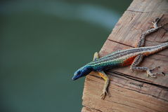 Flat lizard at Augrabies Falls, South Africa Stock Photography
