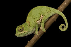 Flat Neck Chameleon Stock Photography