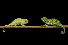 Flat Neck Chameleon Stock Photo