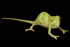 Flat Neck Chameleon Royalty Free Stock Photo