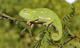 Flat-necked chameleon. A Flat-necked Chameleon sitting on a branch Stock Images