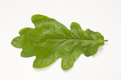 Flat Oak Leaf Stock Photo