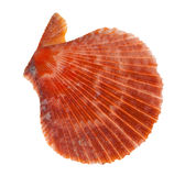 Flat orange shellfish on white Royalty Free Stock Image