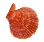 Flat orange shellfish on white Royalty Free Stock Image